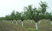 Лошотията не спира и по празниците,неизвестен съсипа 550 овощни дръвчета