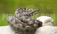 Най-отровните змии в България и какво да правим, ако ни ухапят