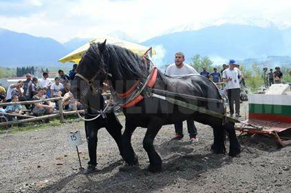 За 27-ма  година Разлог бе домакин на  състезание с тежковозни коне