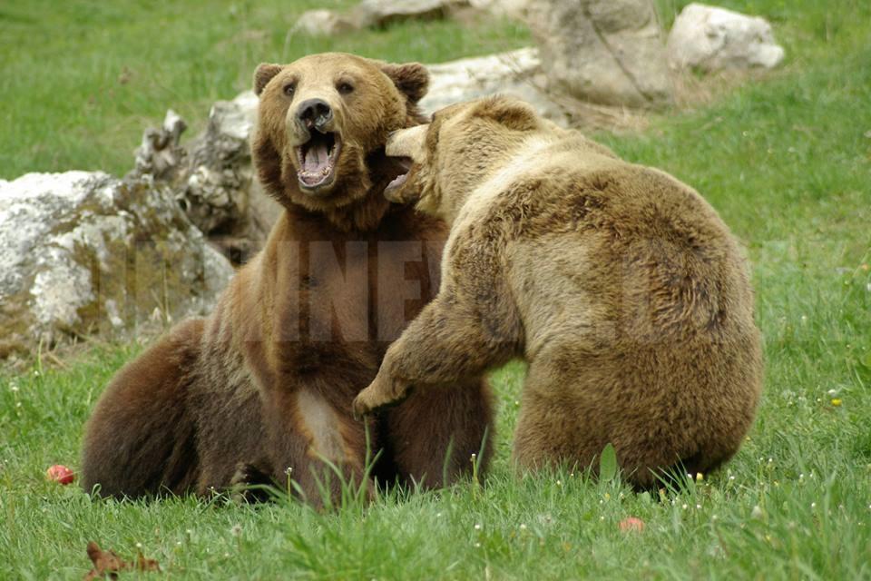 Евтаназираха мечката Гошо от Парка в Белица, бил тежко болен