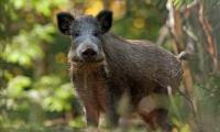 Полицаи разследват убийство на прасе и коте