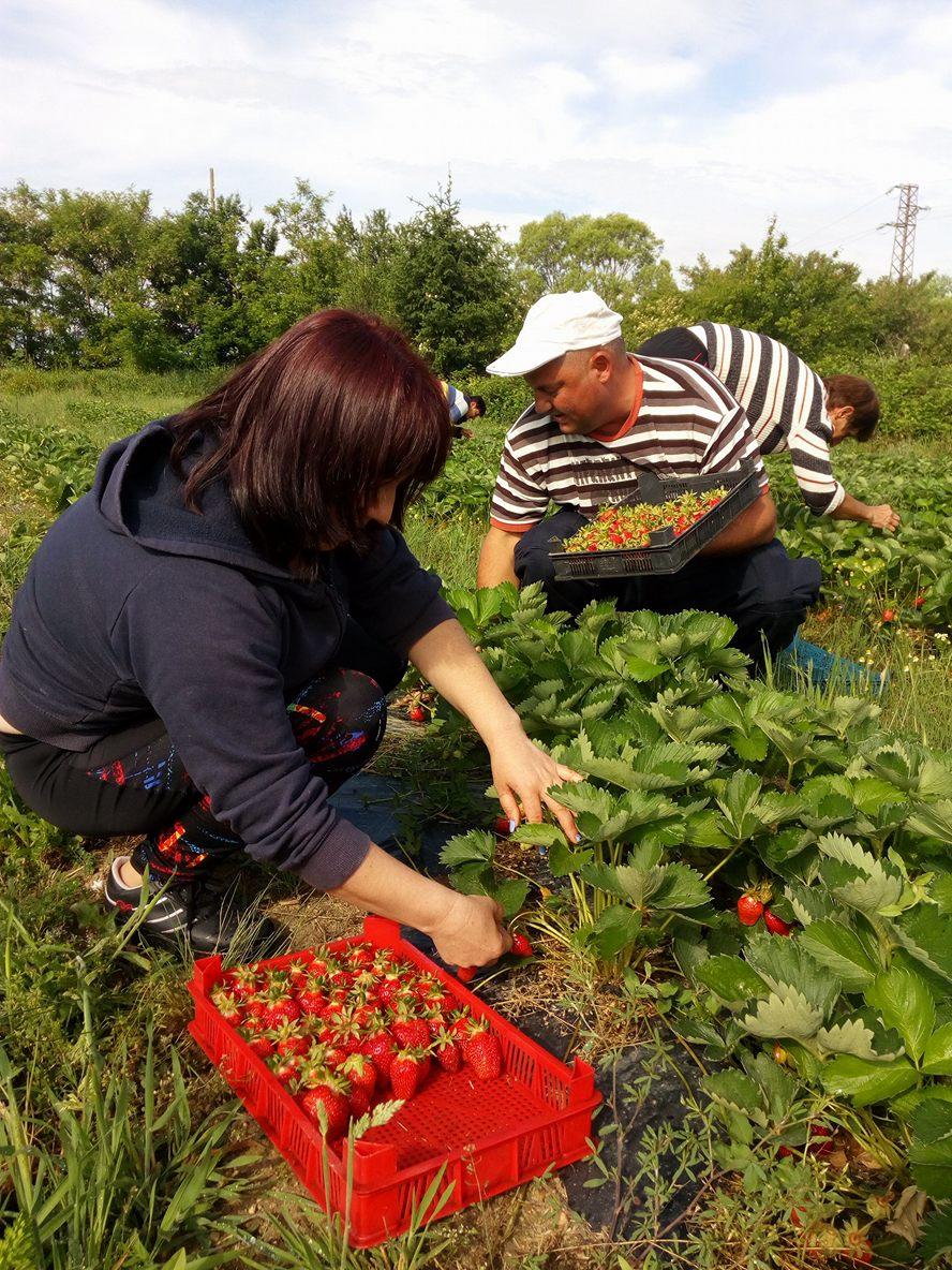 Горските берат първа реколта от ягоди в разсадник Рилски манастир
