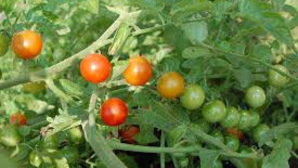 Производителите ще вдигат цените на  земеделската продукция заради дъждовете