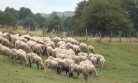 Отмениха карантината в две ферми от Пиринско, няма чума